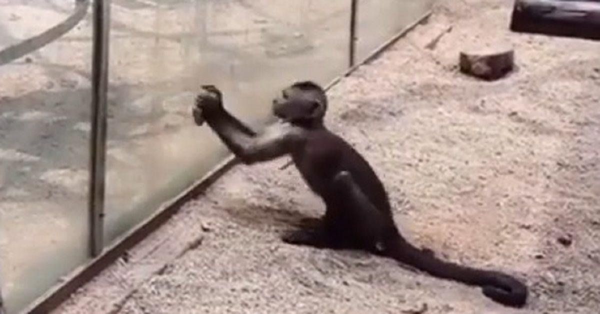 Scimmietta prova a scappare dallo zoo rompendo il vetro con un sasso che aveva affilato