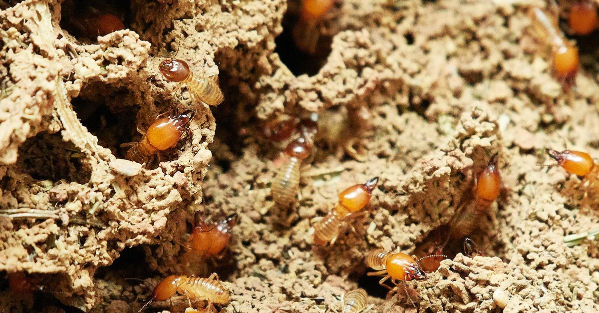 Ecco come uccidere le termiti e sbarazzarsene per sempre