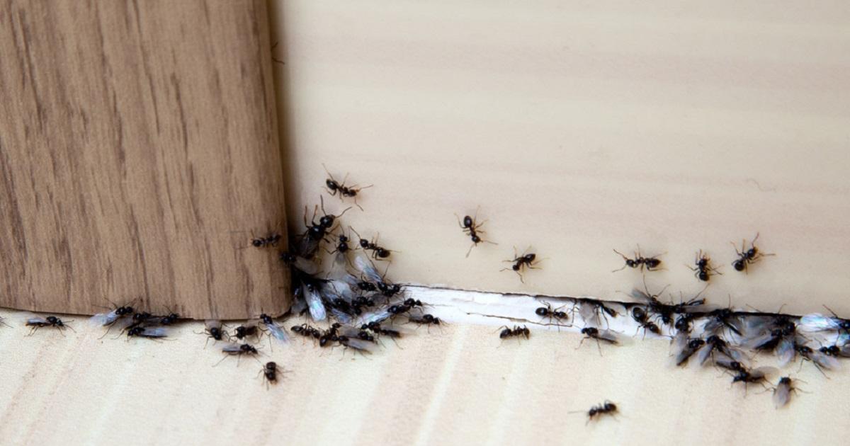 I migliori rimedi naturali fatti in casa contro le formiche