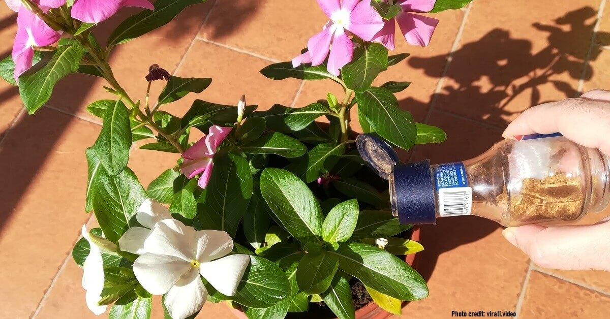 Spargi 1 cucchiaino di cannella sulle piante, le sue proprietà sono utili per la salute del tuo giardino