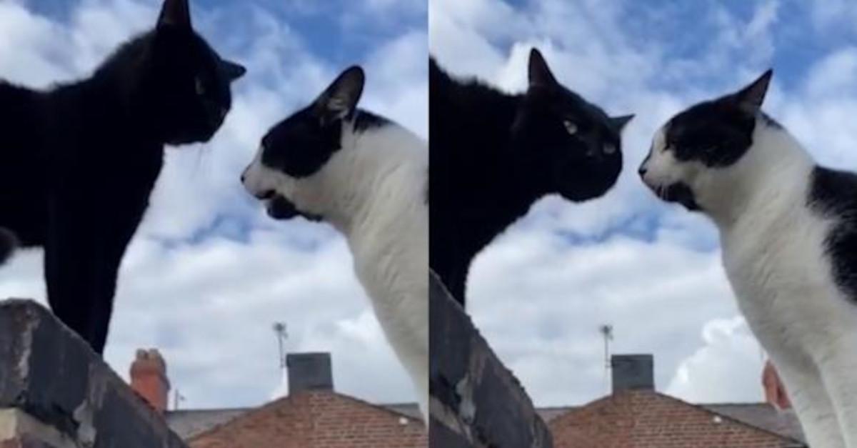 Gatti conversano imitando dei suoni umani e il VIDEO fa il giro del web