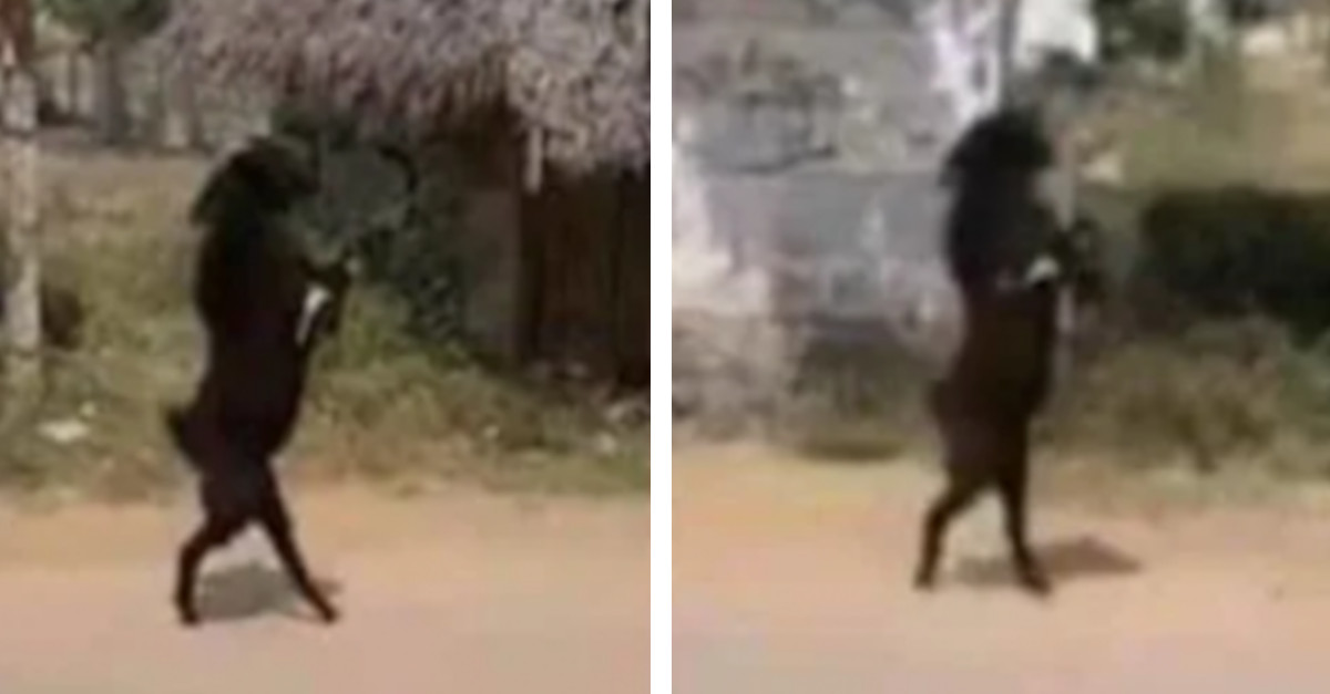La capra che cammina su due zampe per entrare nel villaggio [VIDEO]