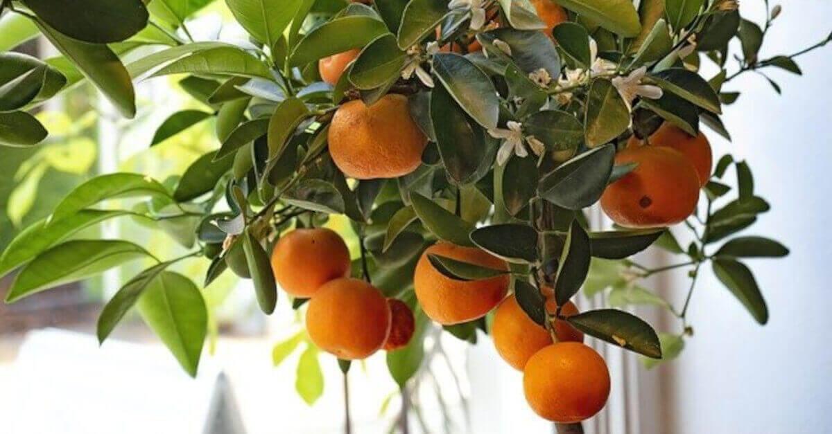 Clementine: gli agrumi che piacciono a tutti. Ecco come far crescere una pianta direttamente in casa.