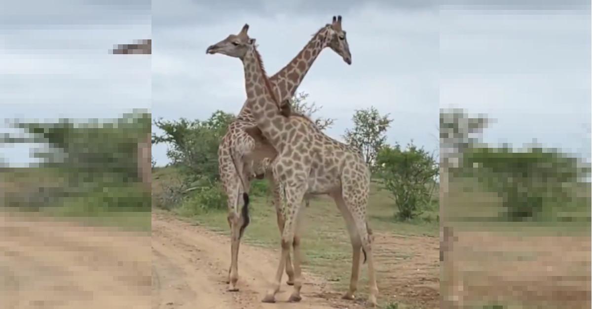 Le posture comiche di due giraffe prima di iniziare un combattimento [VIDEO]