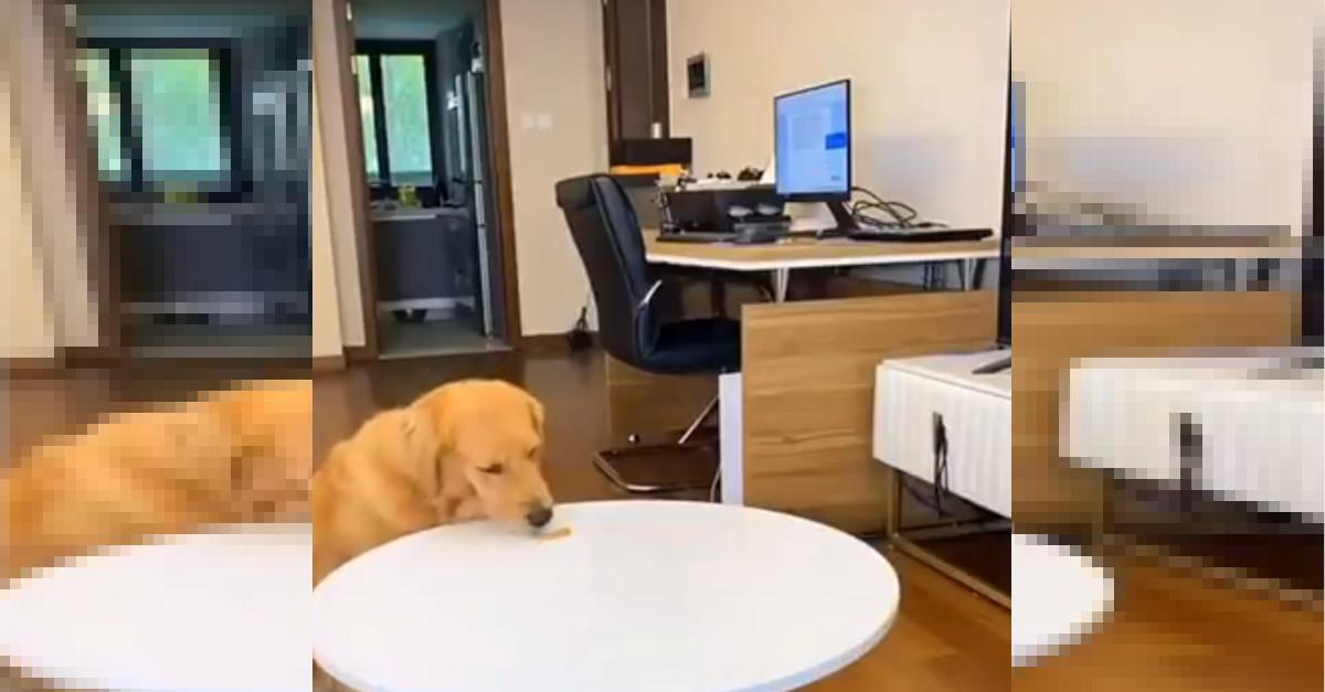 Incredibile! Il cane mangia un premio senza permesso e rimarrai sorpreso da quello che è successo dopo [VIDEO]