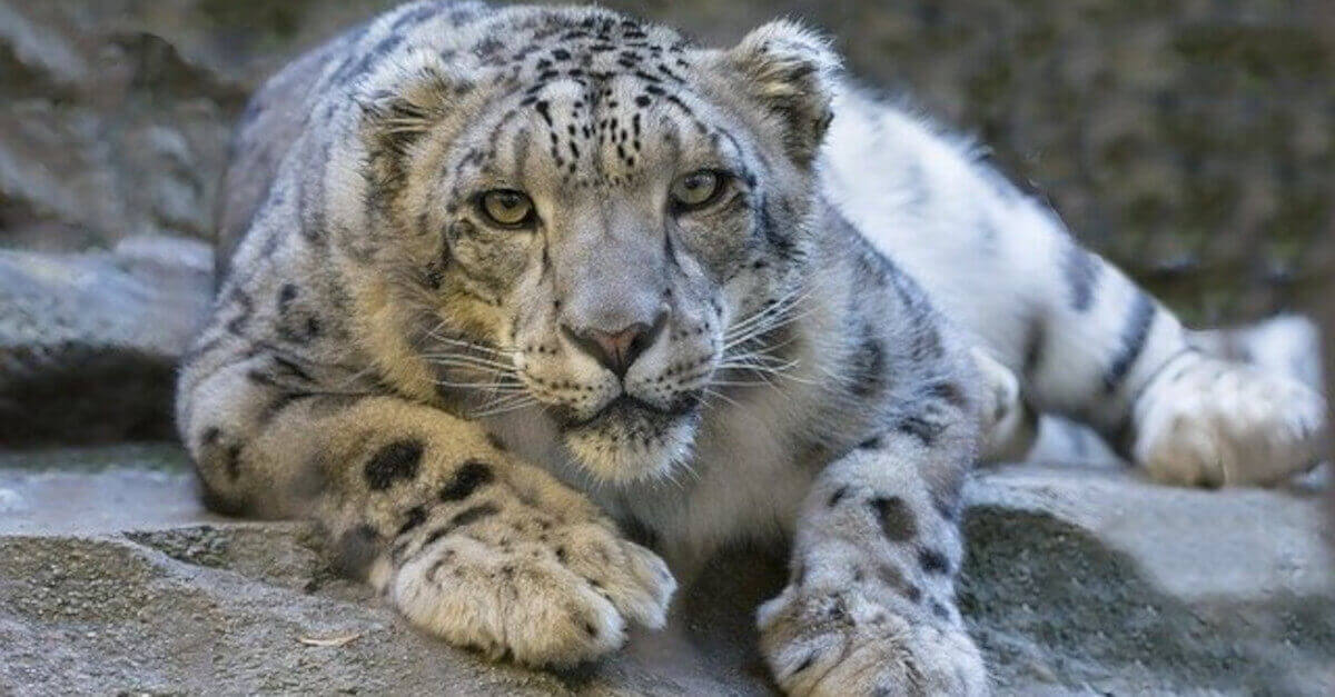 TEST Impossibile: Riesci a trovare il leopardo? La sfida visiva che fa impazzire Twitter
