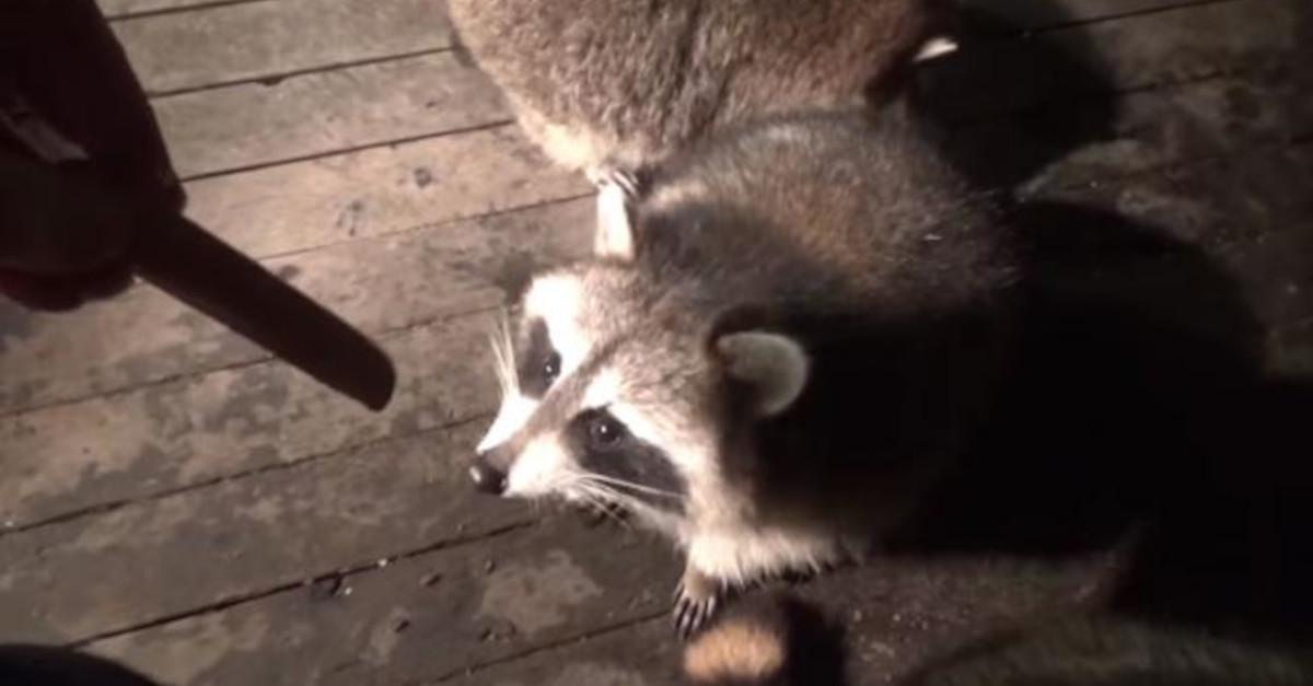 Il 'sussurratore di procioni' nutre questi animali ogni notte come promessa alla sua defunta moglie VIDEO