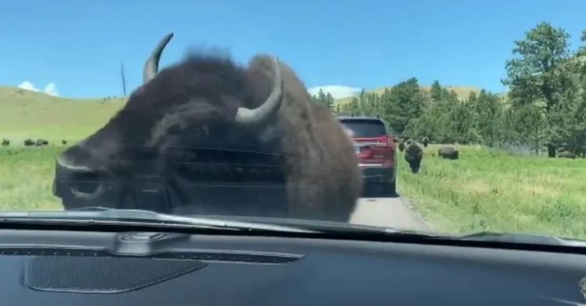 Una donna incontra un branco di bisonti e uno di loro fa questo al suo veicolo [VIDEO]
