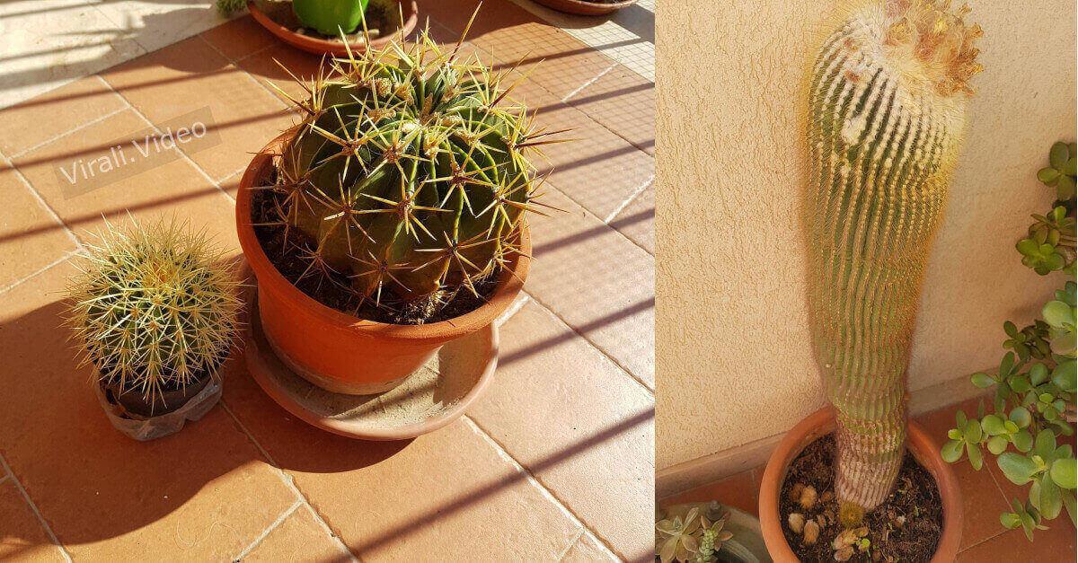 Cactus, ecco il metodo semplice che ci aiuterà a farli riprodurre in modo veloce.