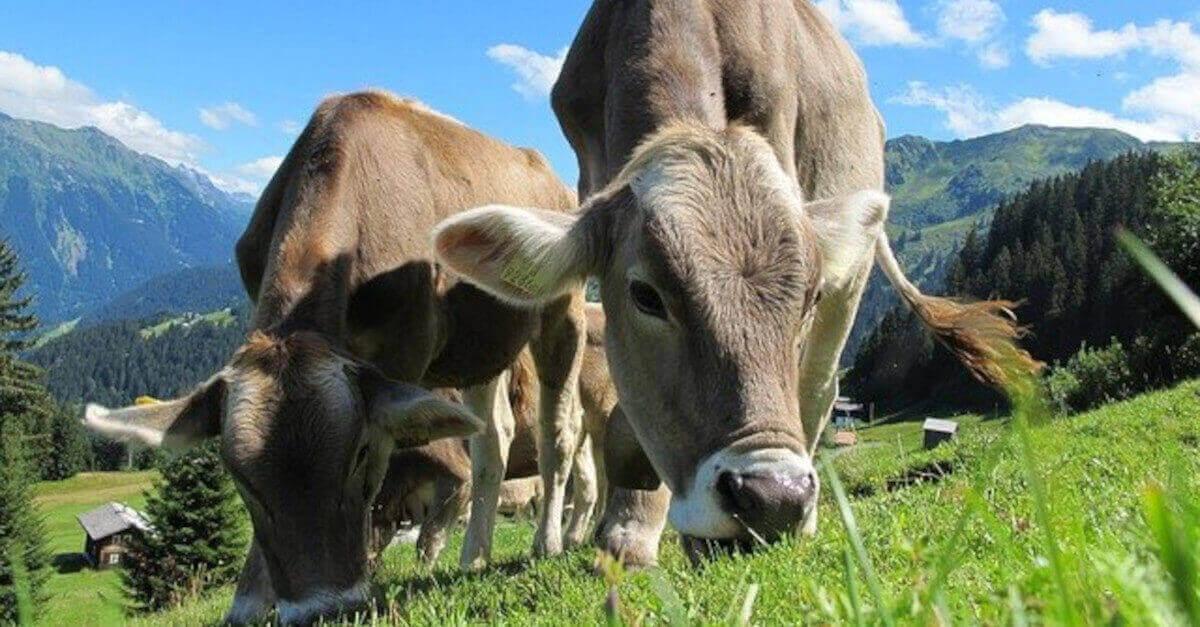 7 curiosità che probabilmente non conoscete sulle Mucche