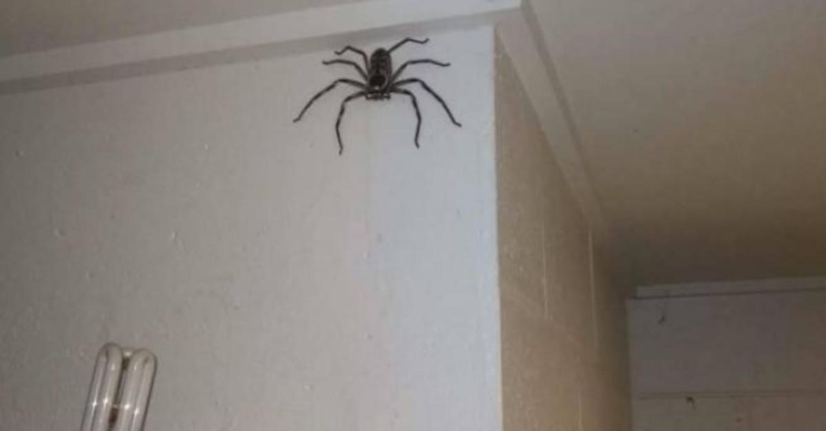 Un uomo vive per un anno con un ragno gigante che ha osservato crescere nella sua casa. Ecco la sua storia!