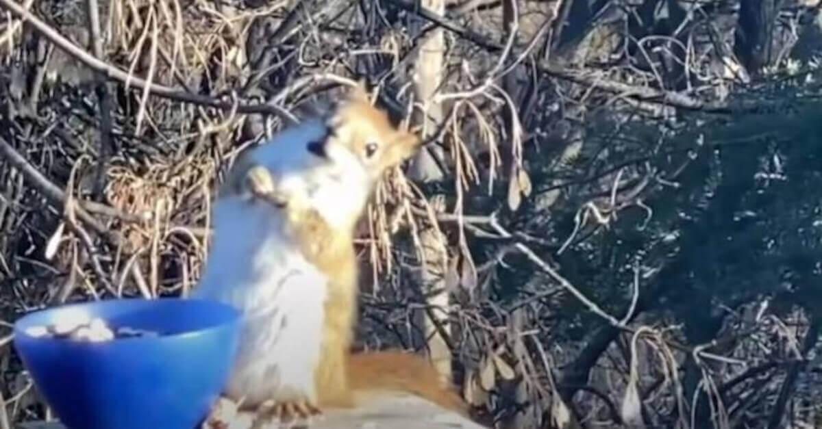 Uno scoiattolo si ubriaca accidentalmente mangiando pere fermentate [VIDEO]
