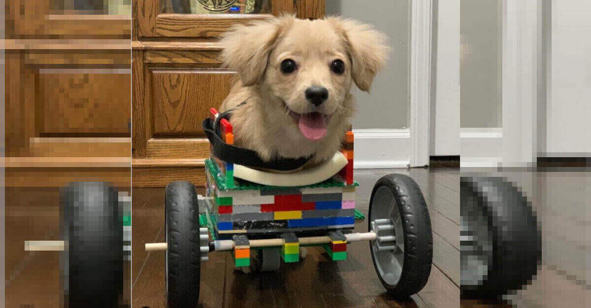 Il cane senza zampe anteriori cammina di nuovo grazie ad un bambino ingegnoso [VIDEO]