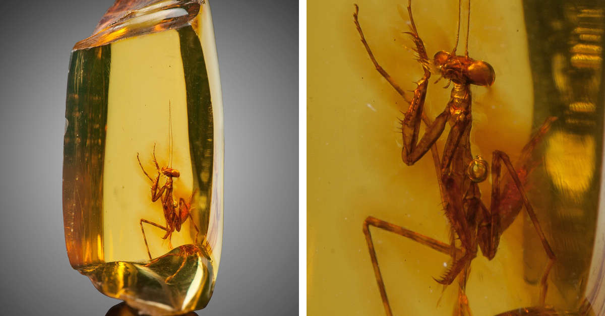 Una mantide religiosa di 30 milioni di anni è conservata incontaminata in un pezzo di ambra