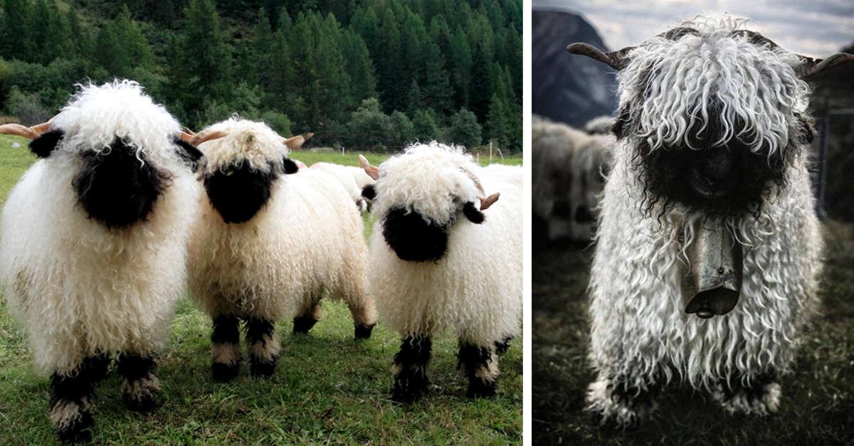 Le persone non capiscono se queste pecore siano carine o terrificanti