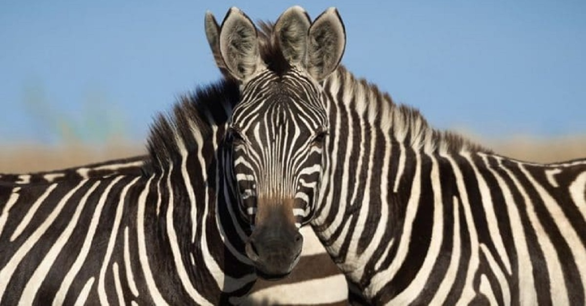 La foto di queste due zebre ha finito per confondere la mente di molte persone