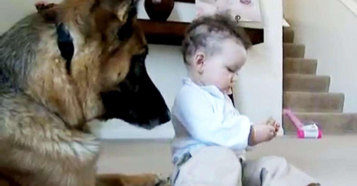 La bambina ruba l'osso al pastore tedesco e non vuole restituirlo neanche al papà