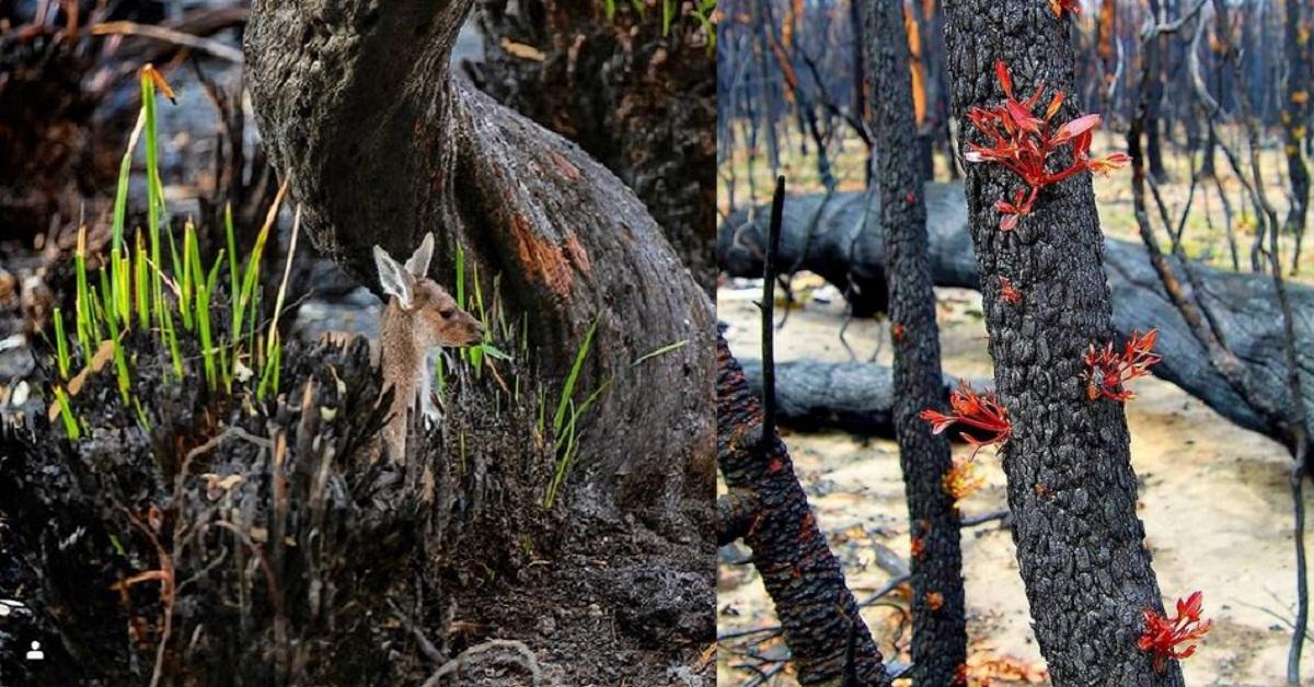 13 immagini che mostrano il ritorno della vita nelle terre bruciate dell'Australia
