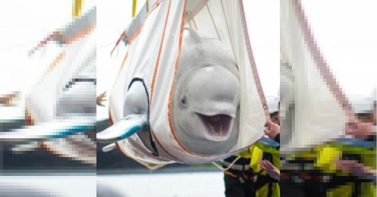 Le balene beluga vengono salvate e diventano virali perché sembrano essere felici (video)