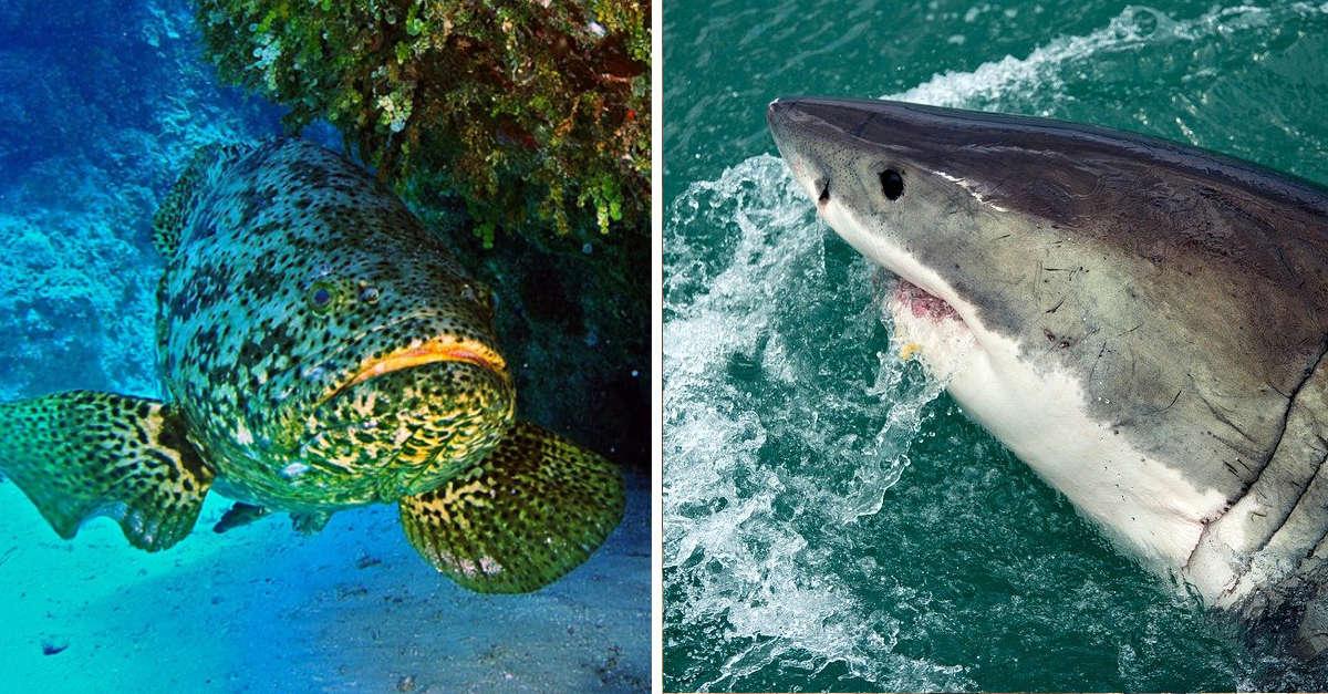 Cernia Golia, il pesce grande come uno squalo che affascina Internet