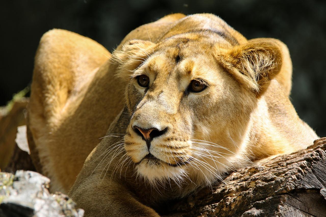Sono tornati a casa e hanno trovato 6 (enormi) leoni che sonnecchiavano nel cortile