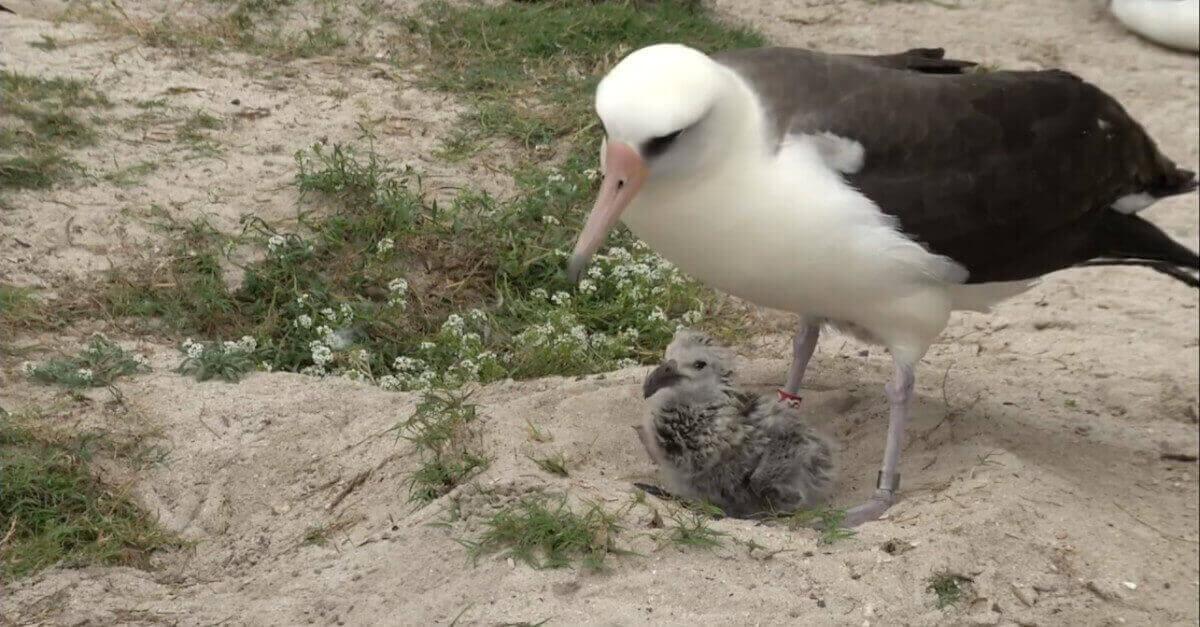 L'uccello marino più antico del mondo riesce a schiudere un uovo e diventa di nuovo madre all'età di 70 anni