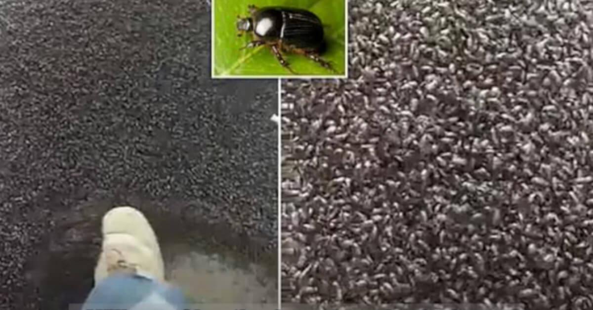 Come in un film dell'orrore |  milioni di coleotteri inondano il cortile di un vicino ad Hamilton |  in Tasmania