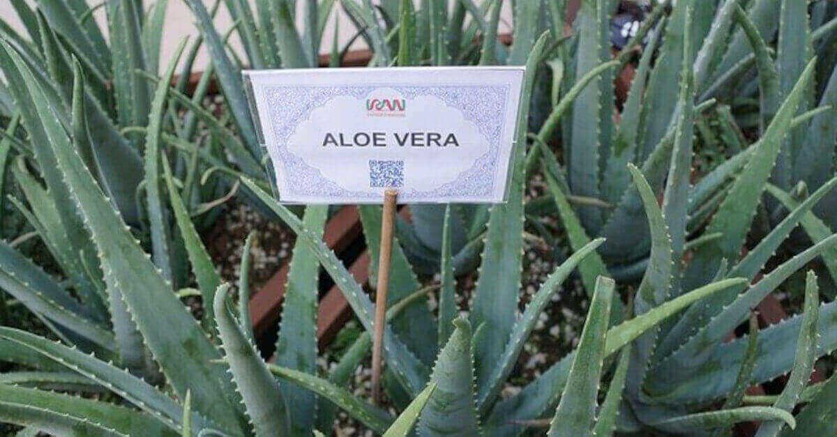 Come prendersi cura di una pianta di aloe vera