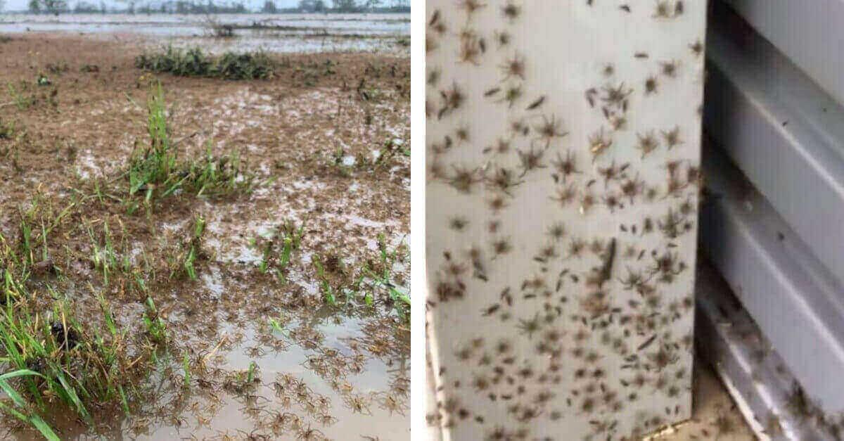 Aracnofobia? Migliaia di ragni fuggono dalle inondazioni dell'Australia