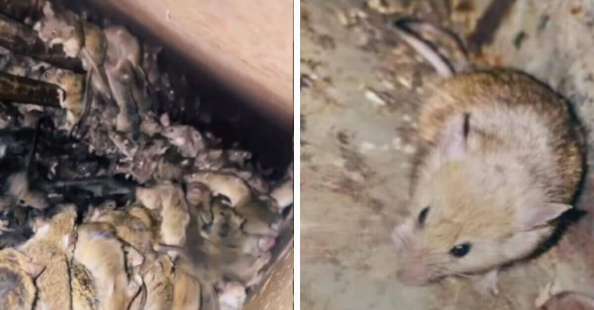 Una piaga di topi provoca terrore su TikTok