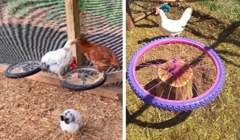 Riciclano vecchi pneumatici di biciclette per far giocare i polli del cortile, il video sui social