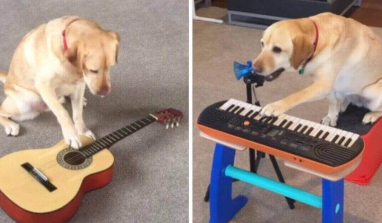 Che talento! Il cagnolino che suona la chitarra, il pianoforte e la batteria