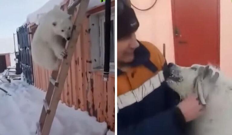 I minatori russi adottano un orso polare orfano come animale domestico e gli salvano la vita