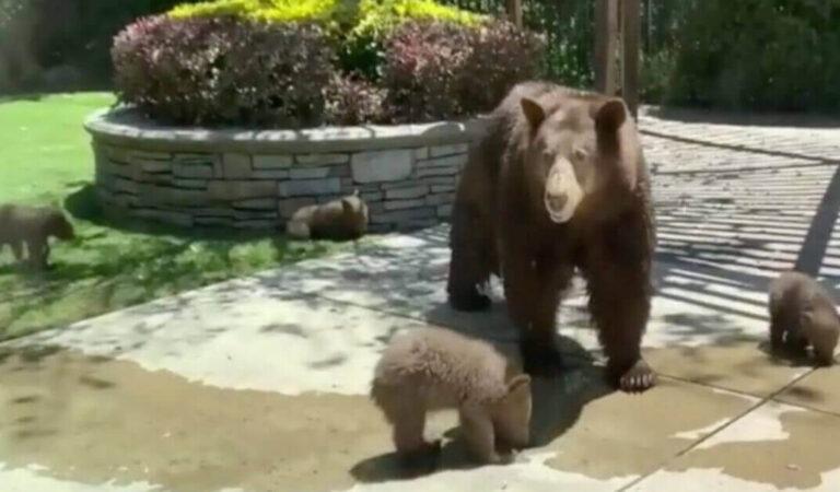 La famiglia trova cinque orsi nel proprio cortile (Video)