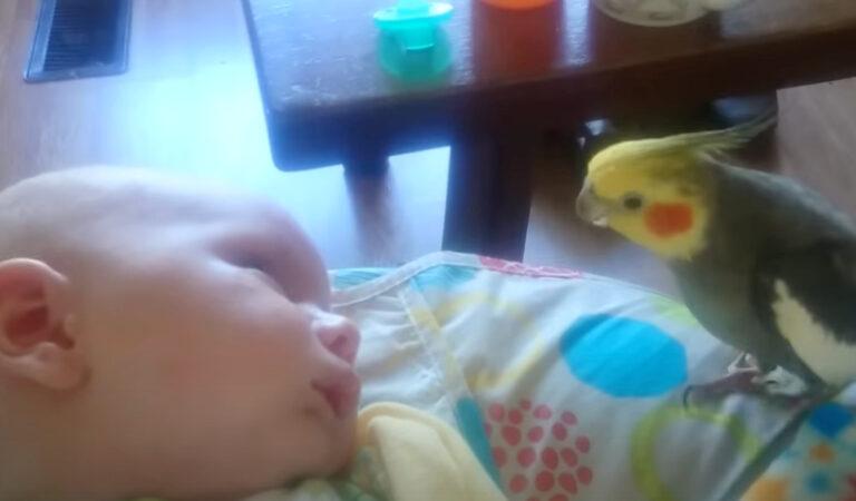 Il pappagallino dà baci e canta al bambino assonnato in un video dolcissimo