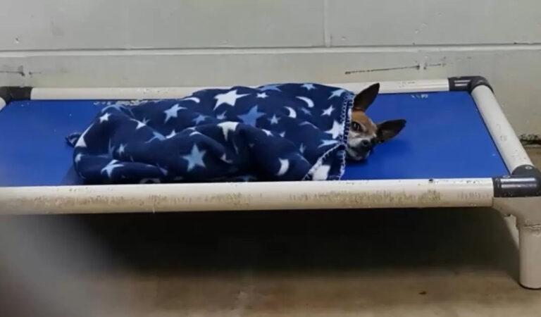 Il vecchio chihuahua lasciato al riparo si corica di notte proprio come faceva il suo padrone