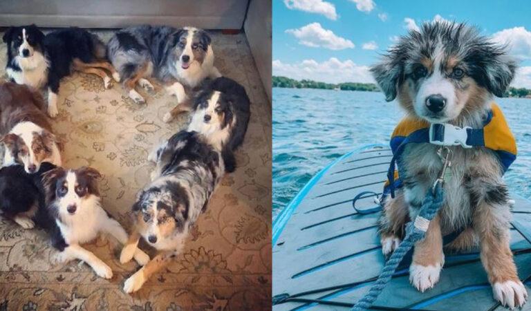 Il cane perfetto: 15 motivi per cui dovresti adottare un pastore australiano