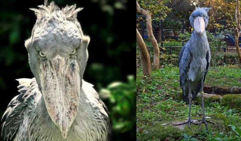 """Questi uccelli non sono ritoccati con Photoshop: 7 foto del """"Becco a scarpa"""" paragonato all'Ippogrifo di Harry Potter"""