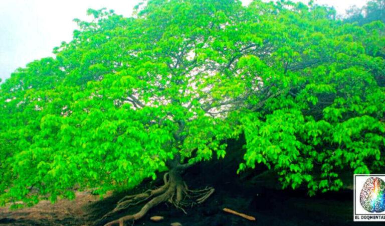 L'albero della morte è il più pericoloso dell'intero pianeta Terra
