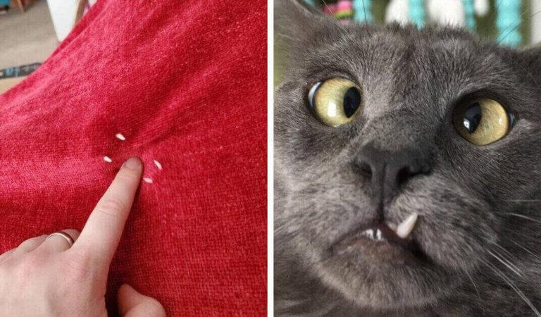 17 gatti che mostrato i loro denti aguzzi: vorrebbero far paura ma sono buffi