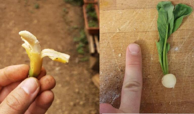 """19 persone che hanno condiviso le foto del loro raccolto, che sembra provenire da  """"Lilliput"""""""