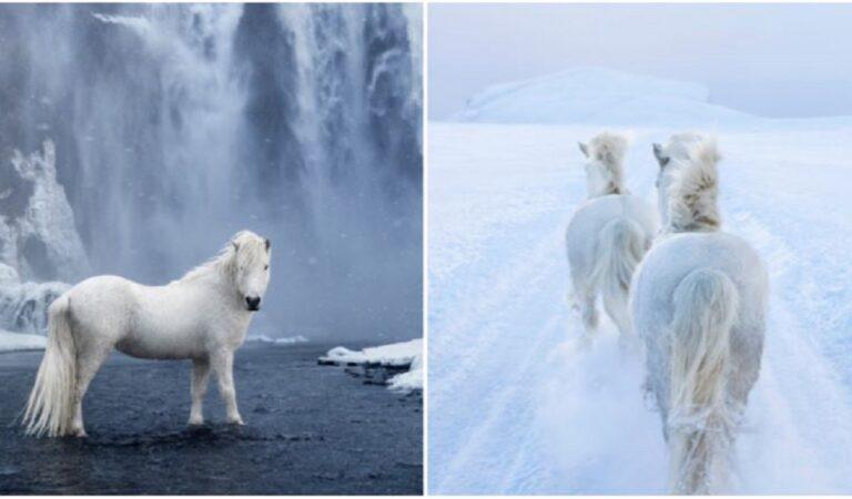 10 Foto epiche di cavalli selvaggi islandesi, realizzati dal fotografo Drew Doggett. Che Meraviglia!