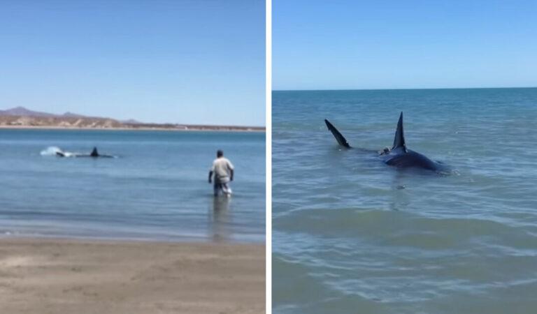 Un uomo trova un enorme squalo bianco sulla riva della spiaggia e si lancia senza pensare