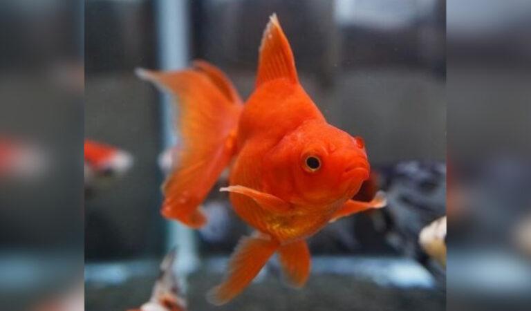 """Perchè non bisogna mai """"liberare"""" un pesce rosso in un fiume o in un lago?"""