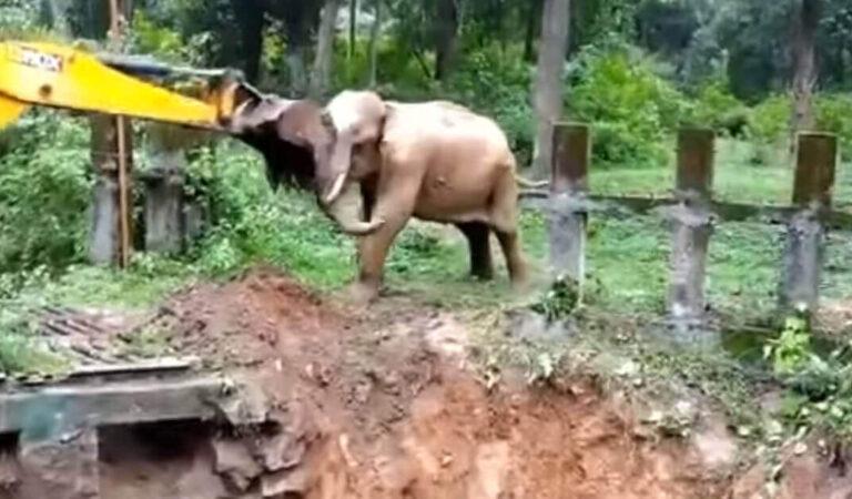 La reazione di un elefante dopo essere stato salvato da un bulldozer